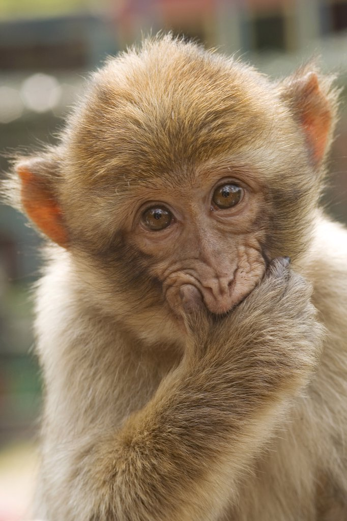 Barbary Macaque , Macaca sylvanus : Stock Photo