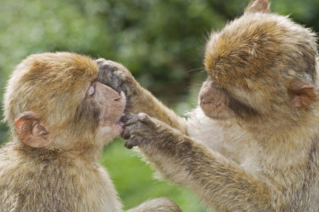 Stock Photo: 4279R-62908 two Barbary Macaques , Macaca sylvanus
