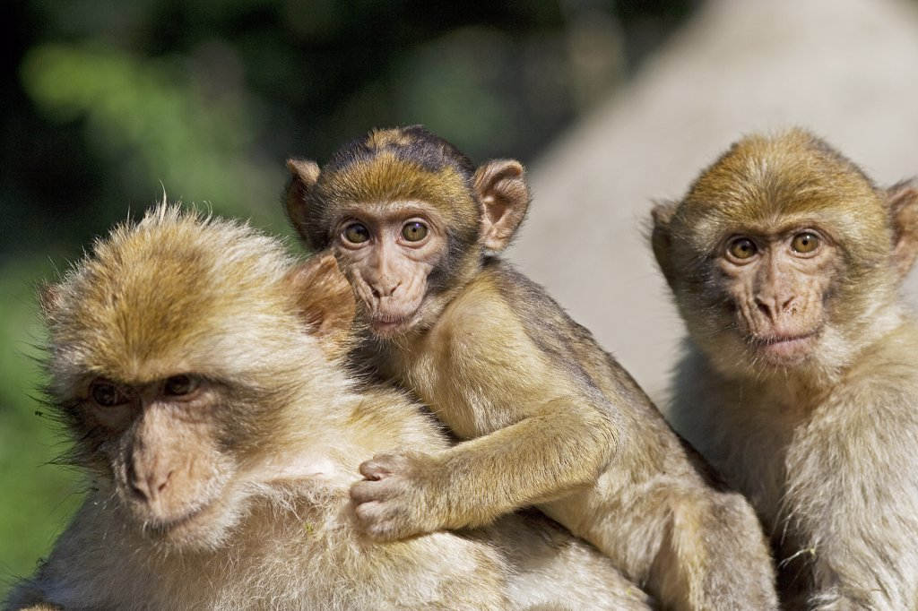 Stock Photo: 4279R-62909 Barbary Macaques and cub , Macaca sylvanus
