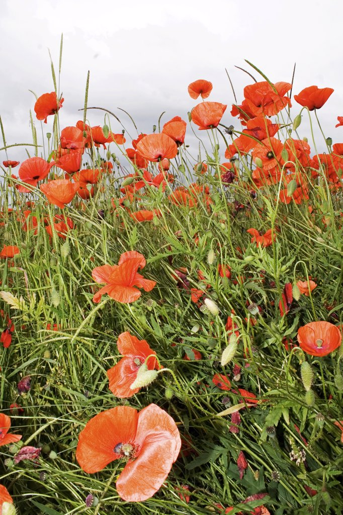 Stock Photo: 4279R-62951 corn poppy , Papaver rhoea
