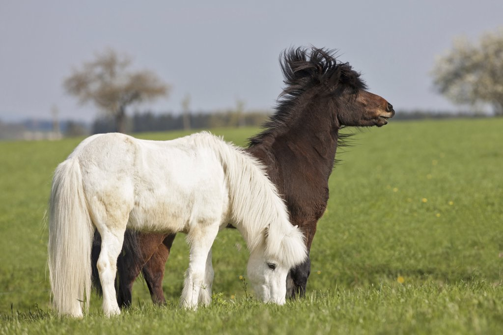 two Icelandic horses - standing on meadow : Stock Photo