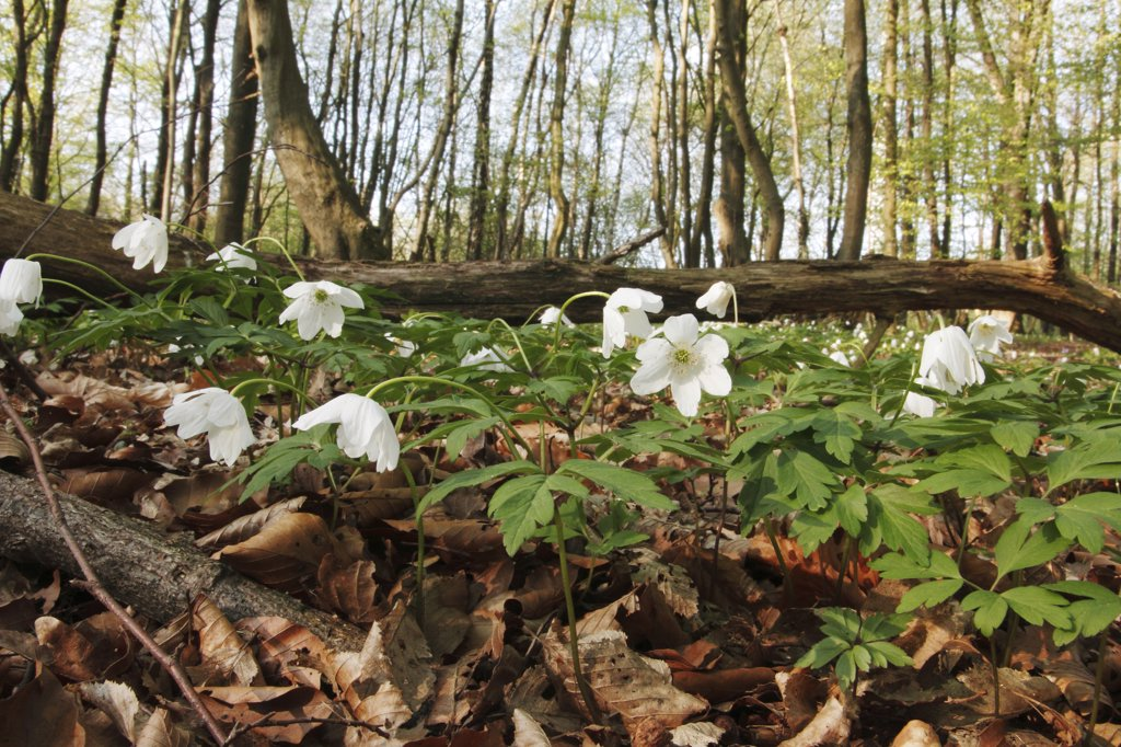 Stock Photo: 4279R-63004 wood anemone , Anemone nemorosa