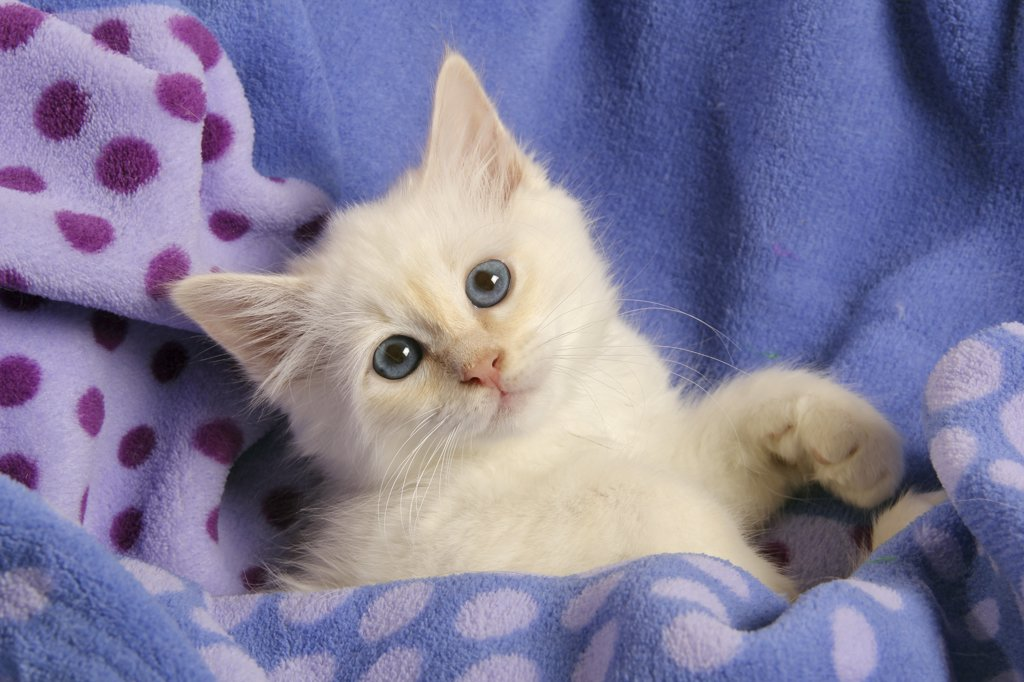 Stock Photo: 4279R-63113 Sacred cat of Burma - kitten - lying