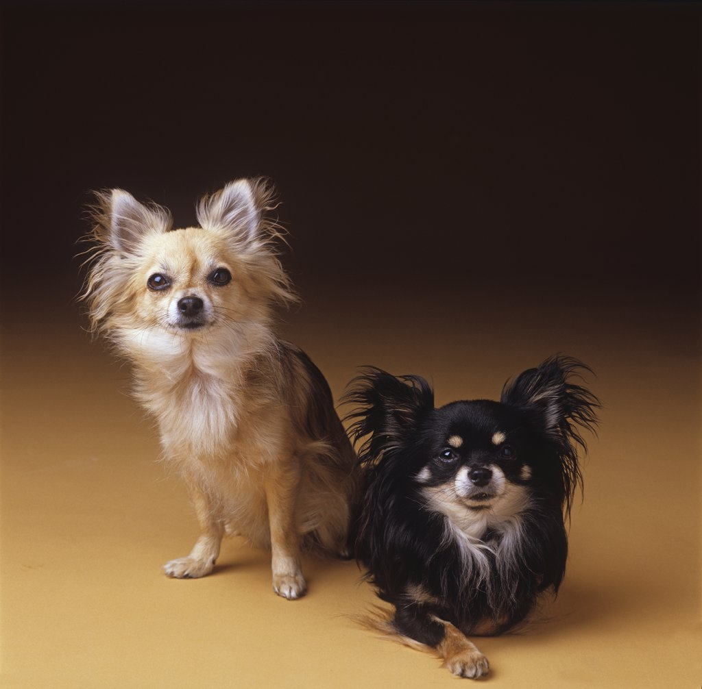 Stock Photo: 4279R-63167 two chihuahuas - cut out