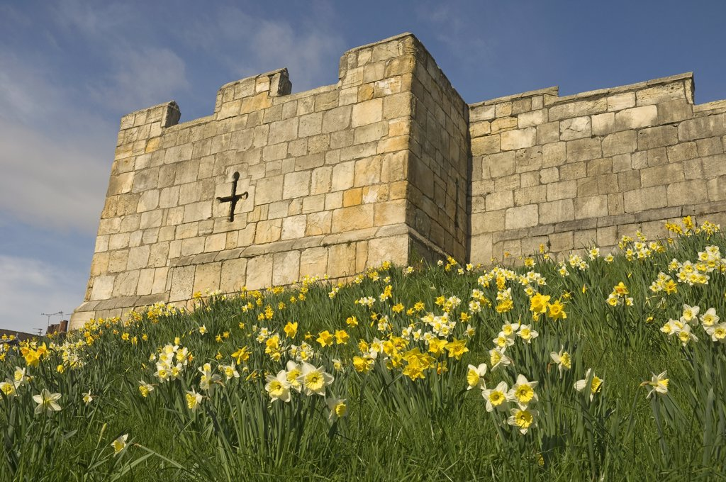 England, North Yorkshire, York. Daffodils on the slopes leading to a stone tower on the City Walls at Fishergate in York. : Stock Photo