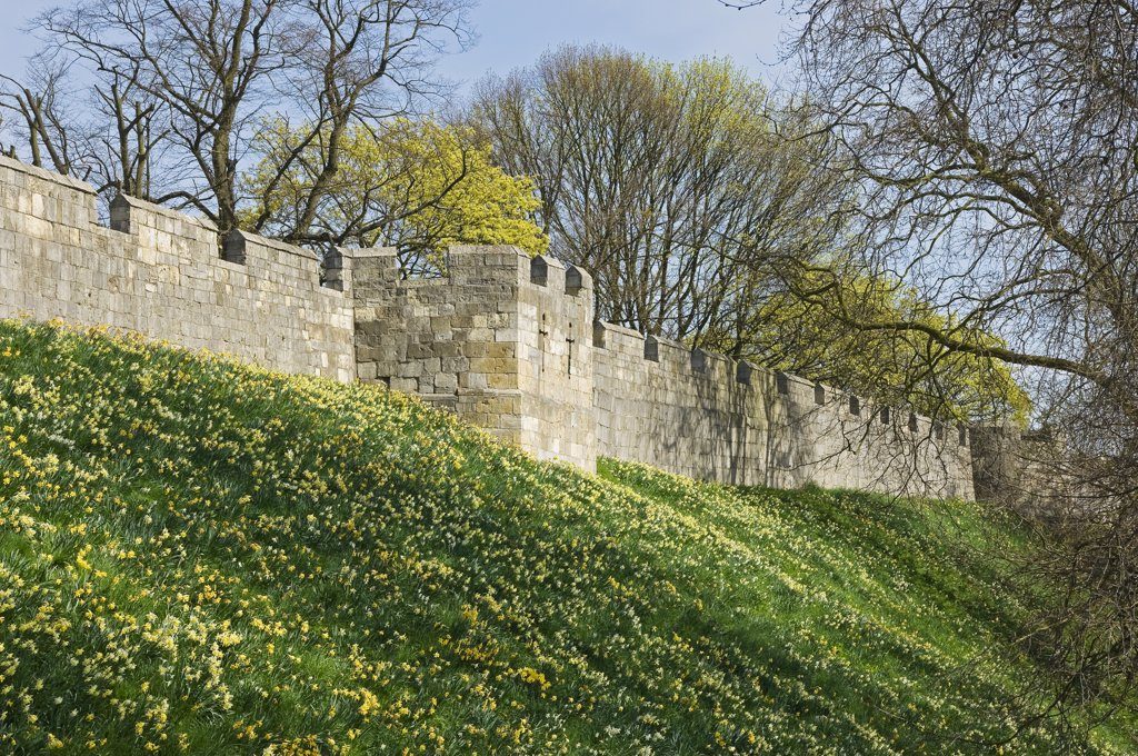 Stock Photo: 4282-14876 England, North Yorkshire, York. Daffodils in bloom by the York city walls in spring.