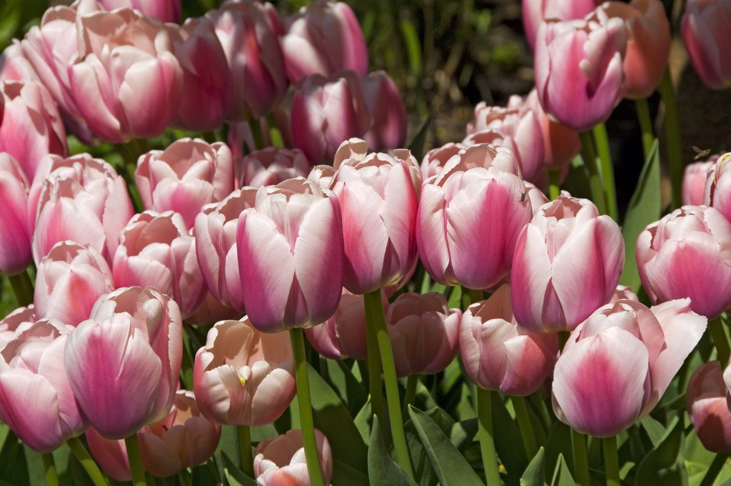 England, North Yorkshire, York. Tulips in bloom in a garden. : Stock Photo