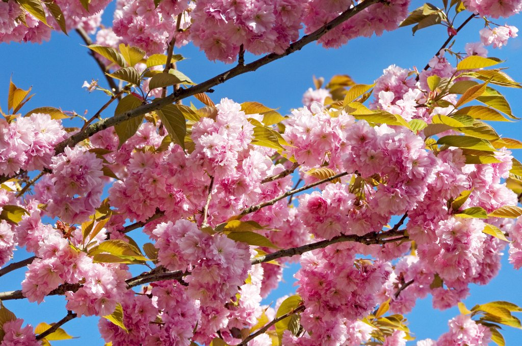 England, North Yorkshire, York. Pink cherry blossom against a blue sky. : Stock Photo