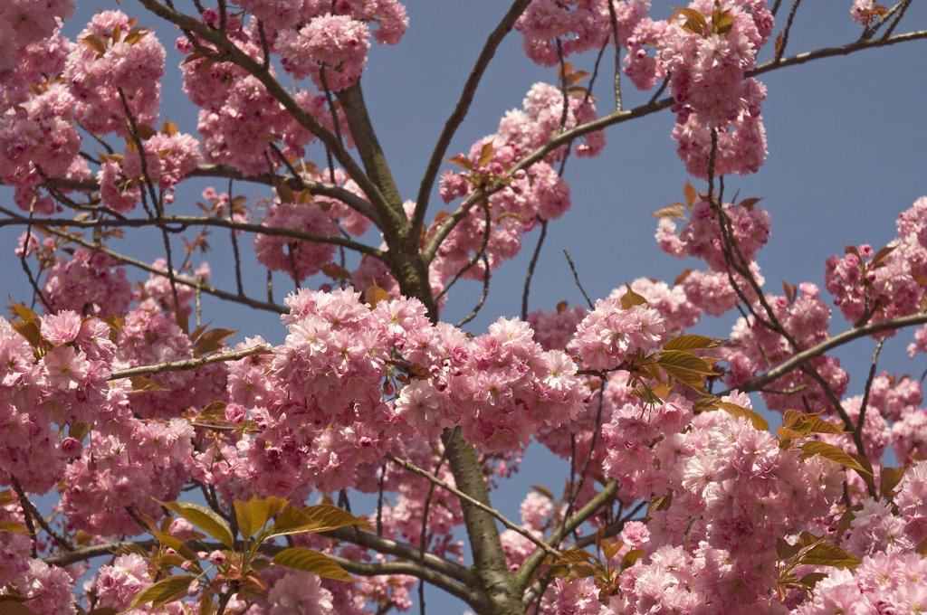 England, North Yorkshire, York. View of pink flowering cherry blossom in spring. : Stock Photo