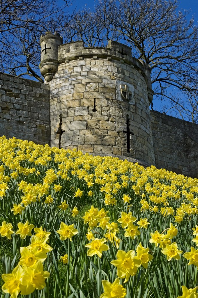 Stock Photo: 4282-15515 England, North Yorkshire, York. Daffodils in bloom by the City Walls at Lord Mayors Walk.