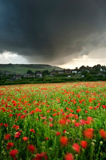 Stock Photo: 4282-17083 England, West Sussex, Ditchling. Vivid red colour displayed from poppies growing in a field under a stormy sky.