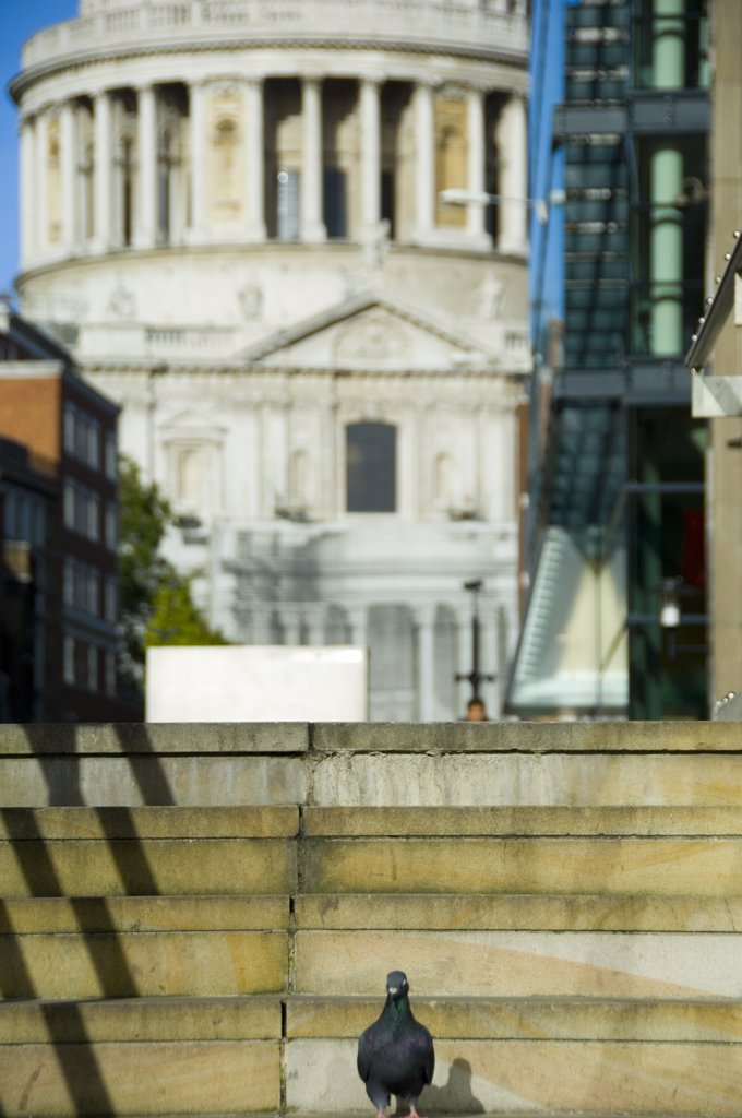 Stock Photo: 4282-17692 England, London, City of London. A pigeon standing on steps at the Millennium footbridge in the City of London with the cupola of St Pauls Cathedral in the background.