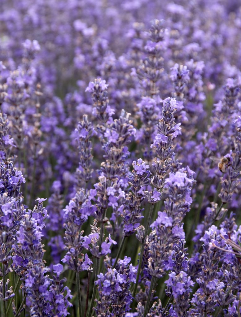 Stock Photo: 4282-18187 England, Sussex, Lordington. Lavender growing at Lordington Lavender Farm.
