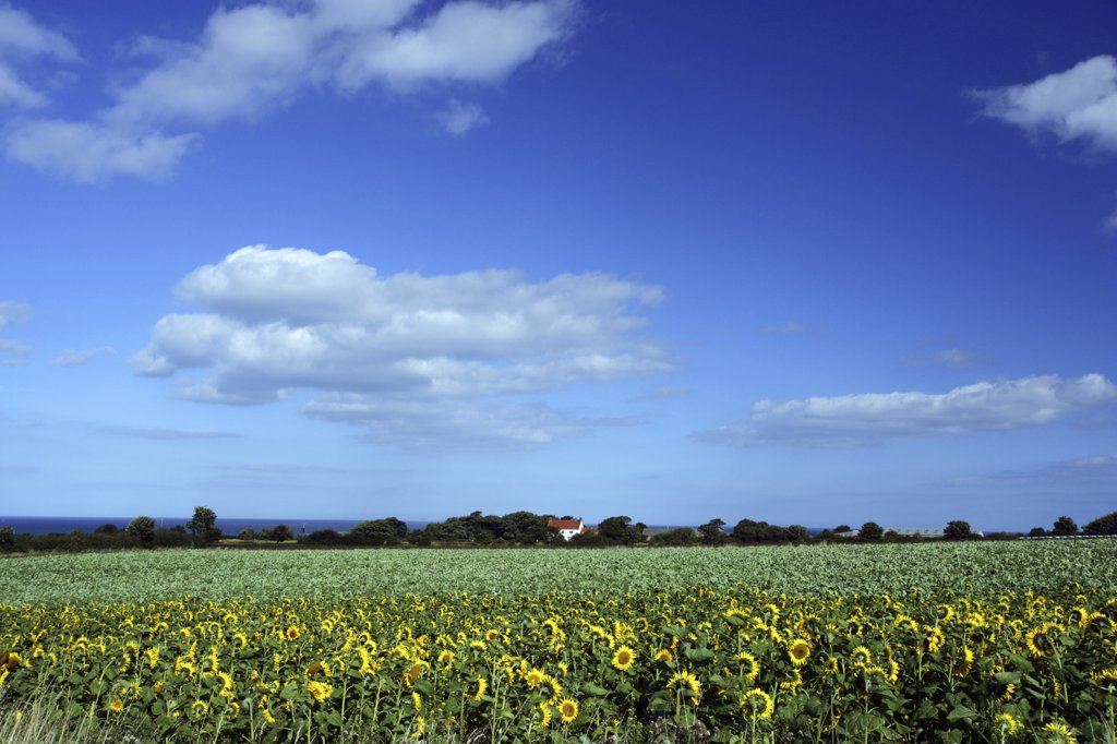 Stock Photo: 4282-21776 England, North Yorkshire, Robin Hood's Bay. View across a field of sunflowers towards an isolated cottage on the North Yorkshire Coast.