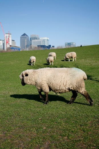 Stock Photo: 4282-24420 England, London, Docklands. Sheep in Mudchute City Farm in sight of Canary Wharf.