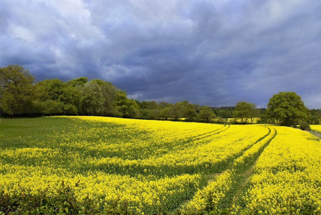 Stock Photo: 4282-26128 England, Surrey, Abinger Hammer. View over rape seed fields near Abinger Hammer.