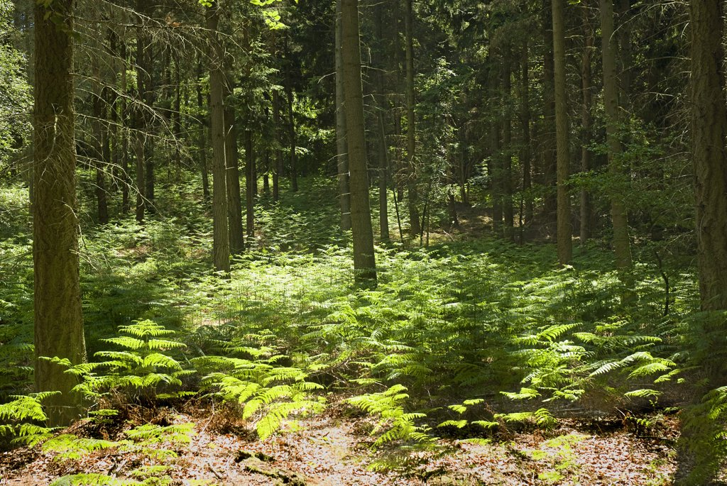 Stock Photo: 4282-26145 England, Surrey, Coldharbour. Shafts of sunlight through trees lighting ferns on a woodland floor near Coldharbour.