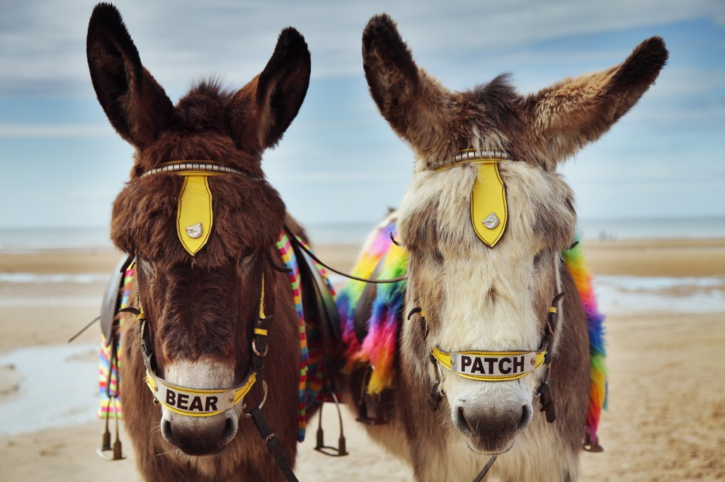 Stock Photo: 4282-26667 England, Lancashire, Blackpool. Bear and patch, two donkeys used for rides along the beach at Blackpool.