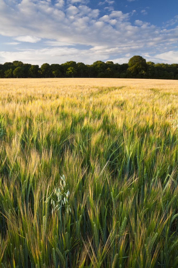 Stock Photo: 4282-27500 England, Hampshire, Whitchurch. Lonely Oats in field of ripening Barley crop on Litchfield Down.