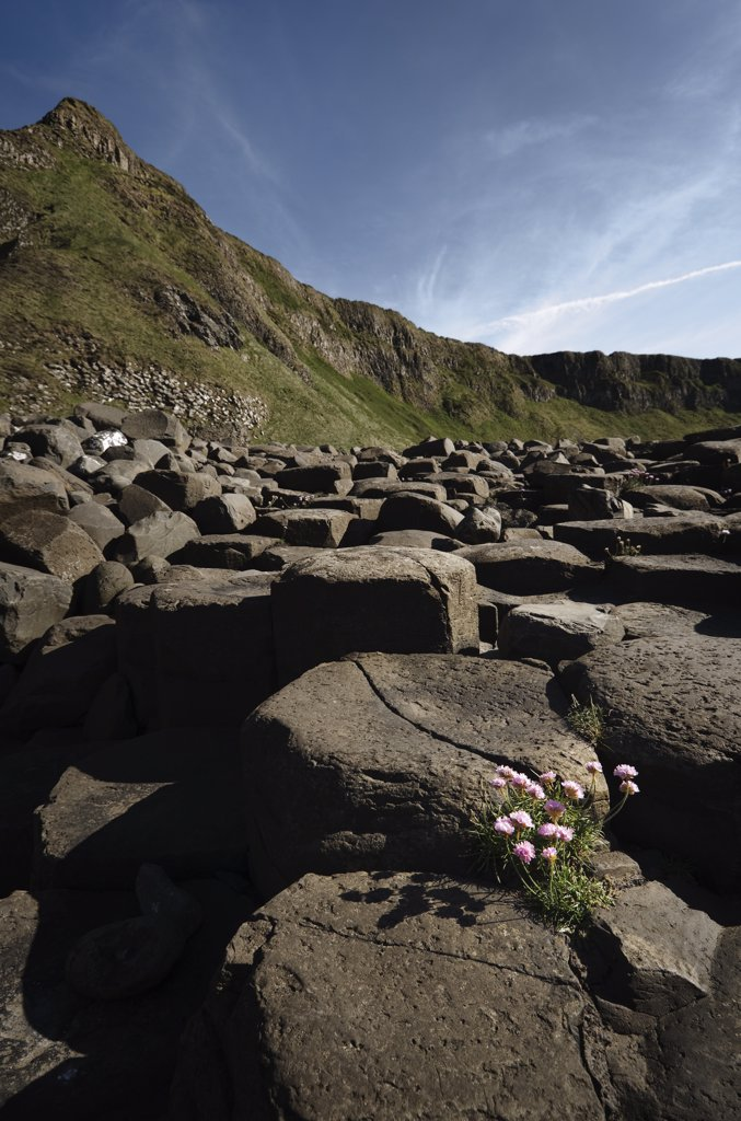 Stock Photo: 4282-27636 Northern Ireland, County Antrim, Giants Causeway. Flowers amongst the interlocking basalt columns of the Giants Causeway,  a World Heritage Site and National Nature Reserve.