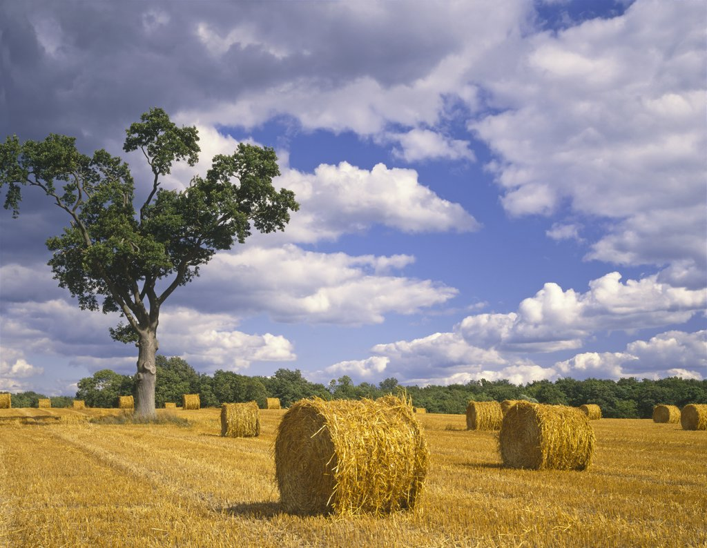 Stock Photo: 4282-2941 England, Suffolk, Westerfield. Rollmop corn stooks at Westerfield in Suffolk.