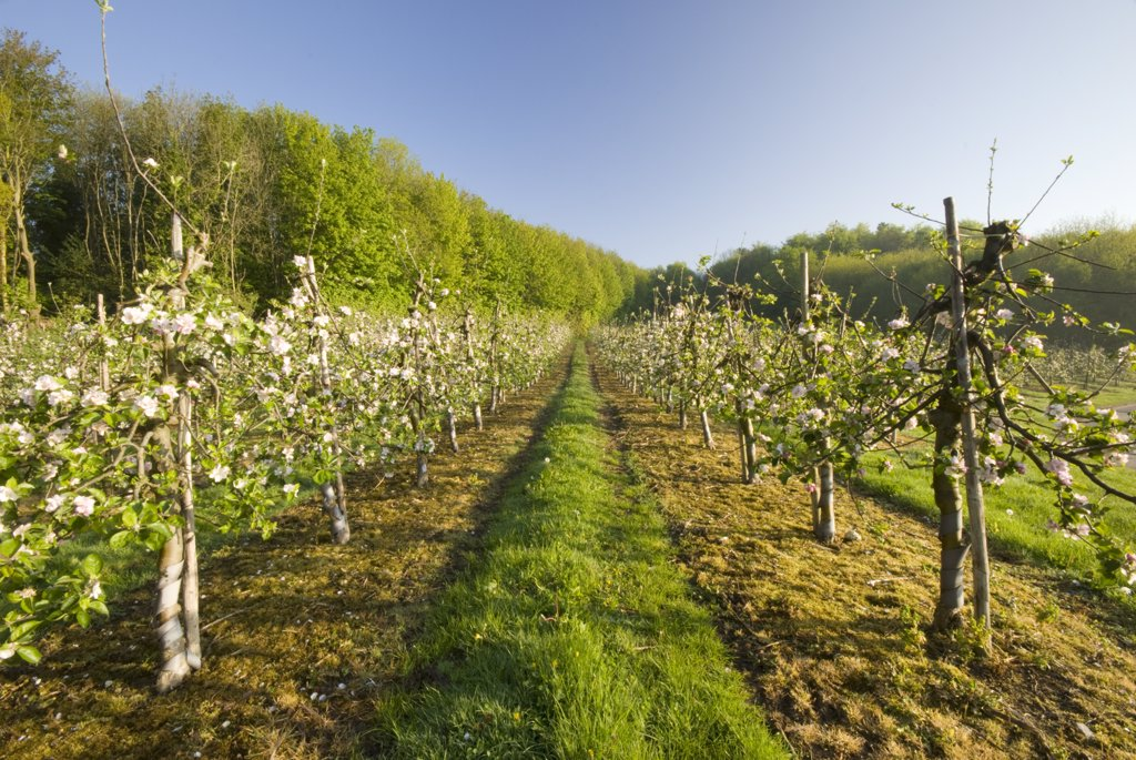 Stock Photo: 4282-29684 England, Kent, Canterbury. Blossom on fruit trees in an orchard at sunrise.