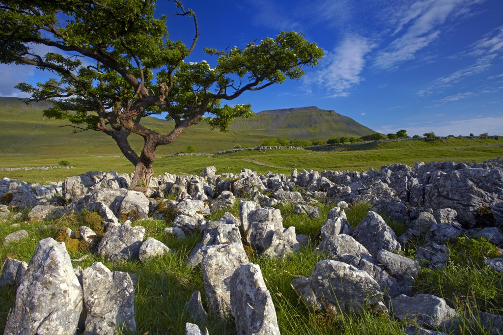 England, North Yorkshire, Southerscales Nature Reserve. Ingleborough, one of Yorkshire's famous three peaks, seen from the limestone pavement of Southerscales Nature Reserve. : Stock Photo