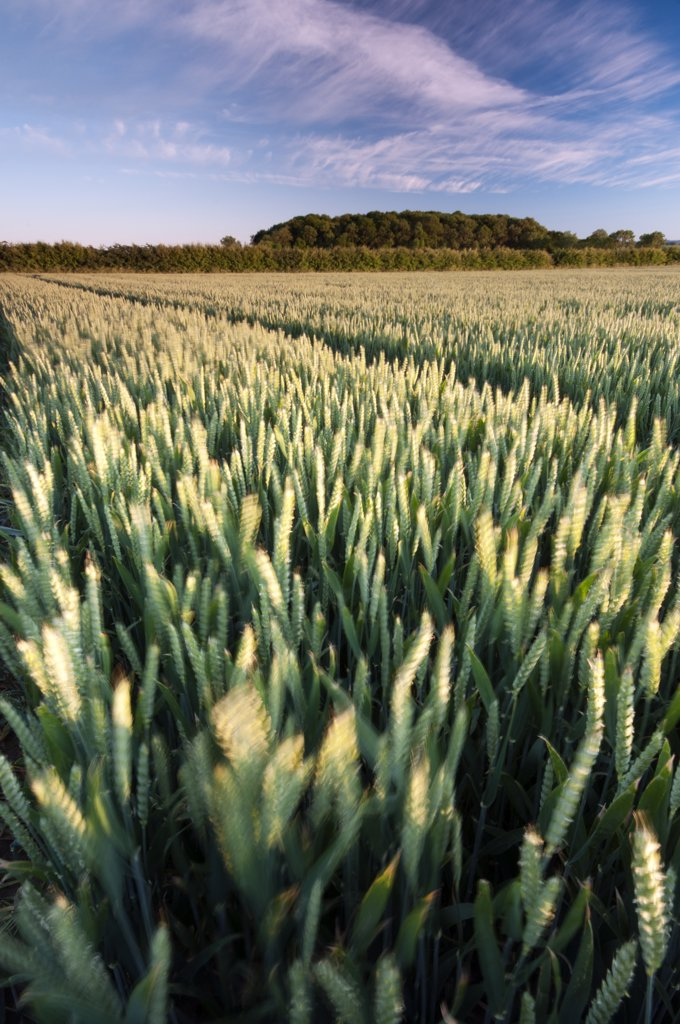 England, Nottinghamshire, Wysall. Wheat crop growing in fields in summertime. : Stock Photo