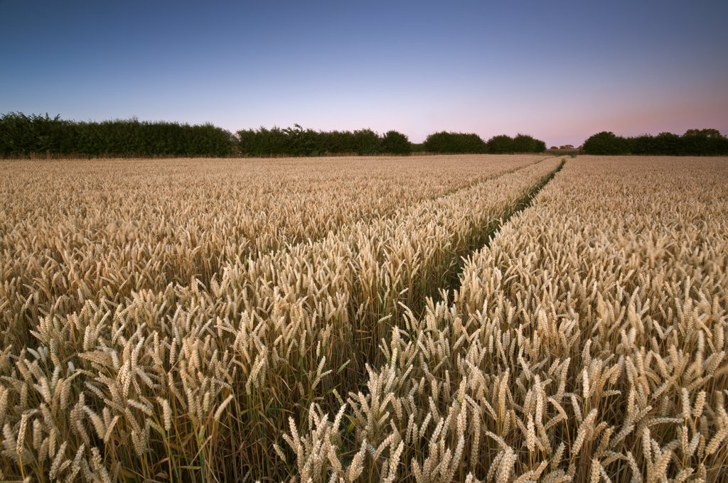 England, Nottinghamshire, Wysall. Wheat crop growing in fields in summertime. : Stock Photo