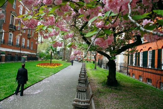 Stock Photo: 4282-32742 England, London, Mayfair. Cherry blossom in Mount Street Gardens  in Mayfair.