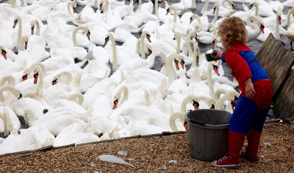 England, Dorset, Abbotsbury. Boy in a Spiderman outfit feeding a flock of swans. : Stock Photo