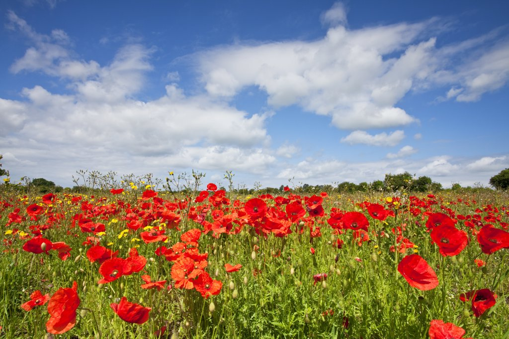 Stock Photo: 4282-4338 England, Norfolk, near Castle Acre. Poppies growing in a field near Castle Acre in the Norfolk countryside in summer.