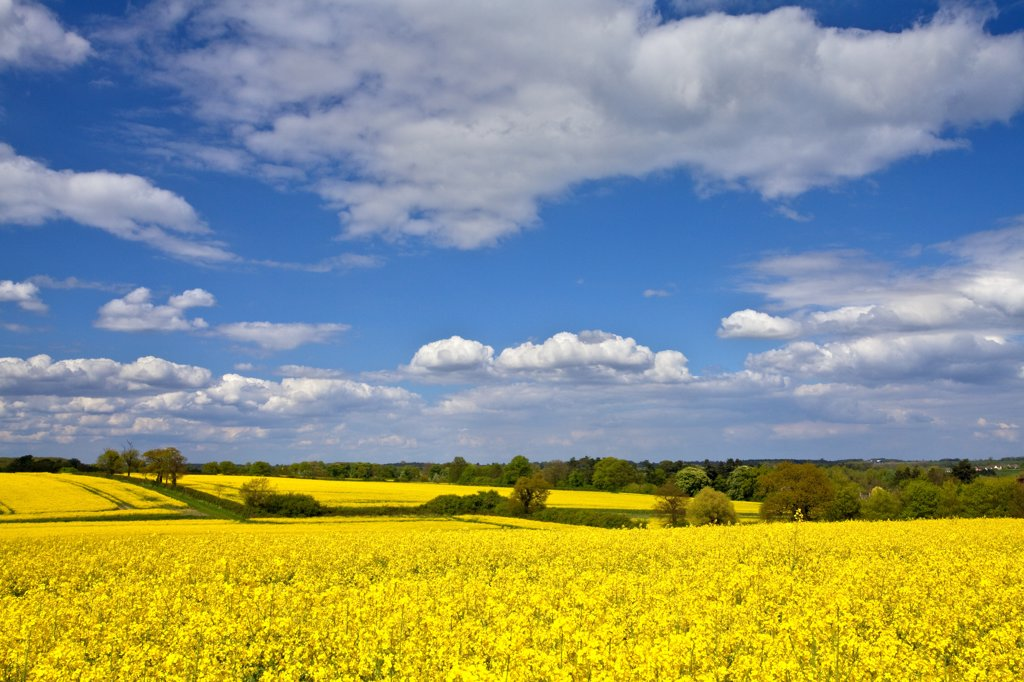 England, Suffolk, Great Thurlow. Bright yellow fields of Oil Seed Rape near Great Thurlow. : Stock Photo