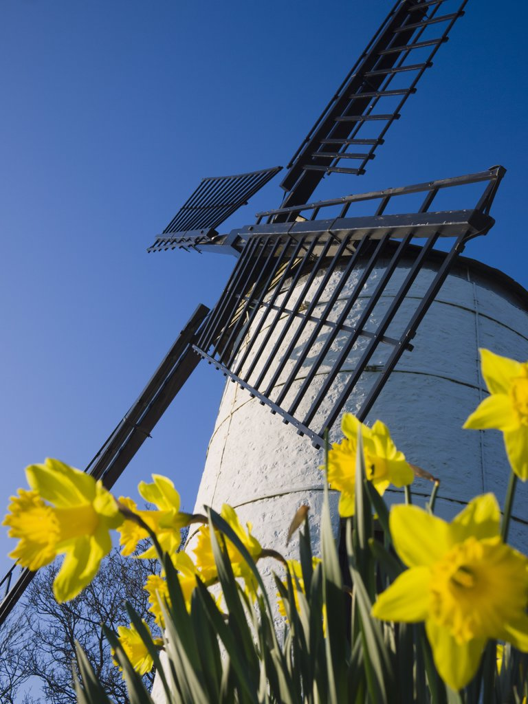England, Somerset, Chapel Allerton. Daffodils beside Ashton Windmill, a tower mill dating from the 18th century. : Stock Photo