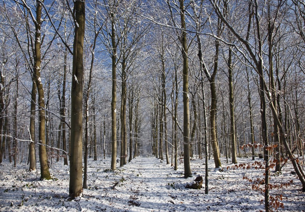 England, Wiltshire, nr Malmesbury. Bare trees in a snow covered forest. : Stock Photo