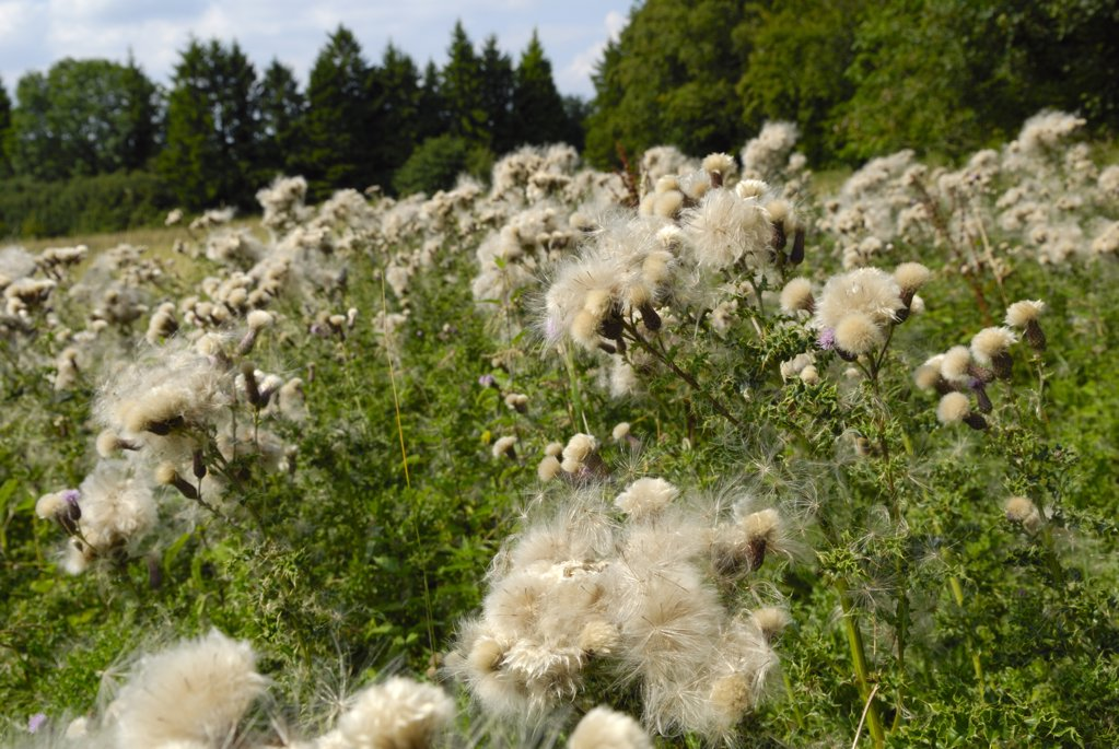 Stock Photo: 4282-6982 England, Kent, Bromley. Thistledown blowing in the wind.