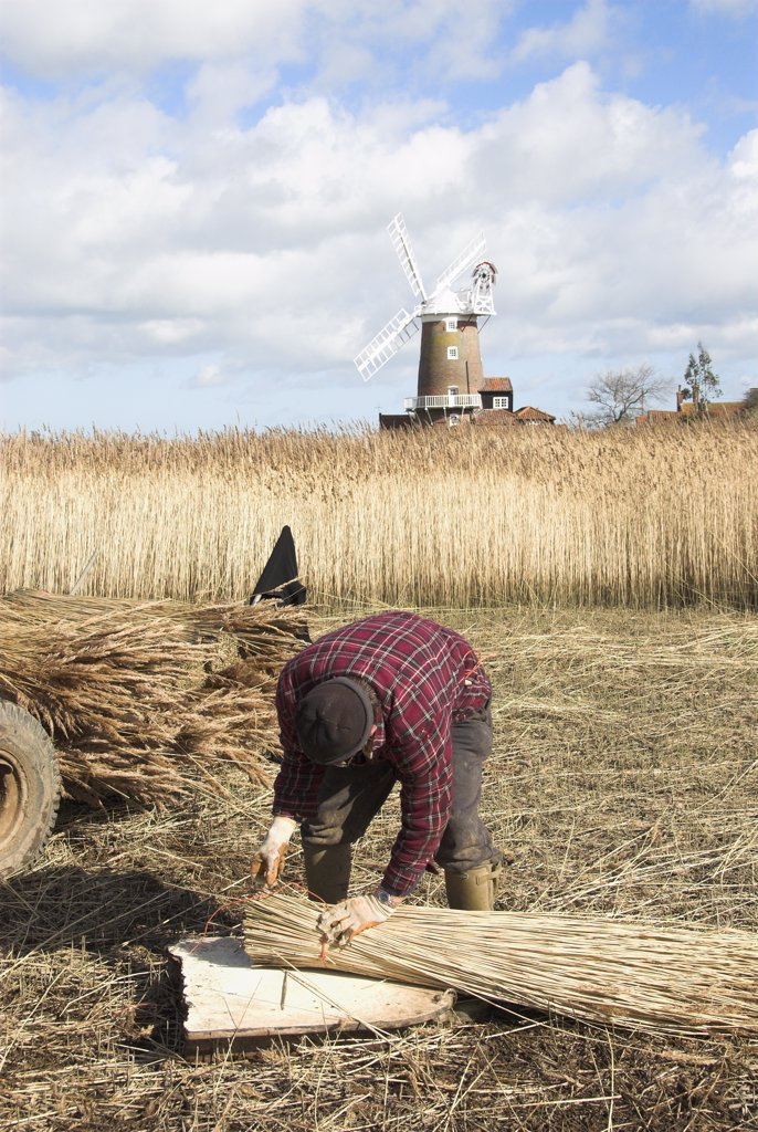 Stock Photo: 4282-7985 England, Norfolk, Cley. A reed cutter bundling cut reeds.