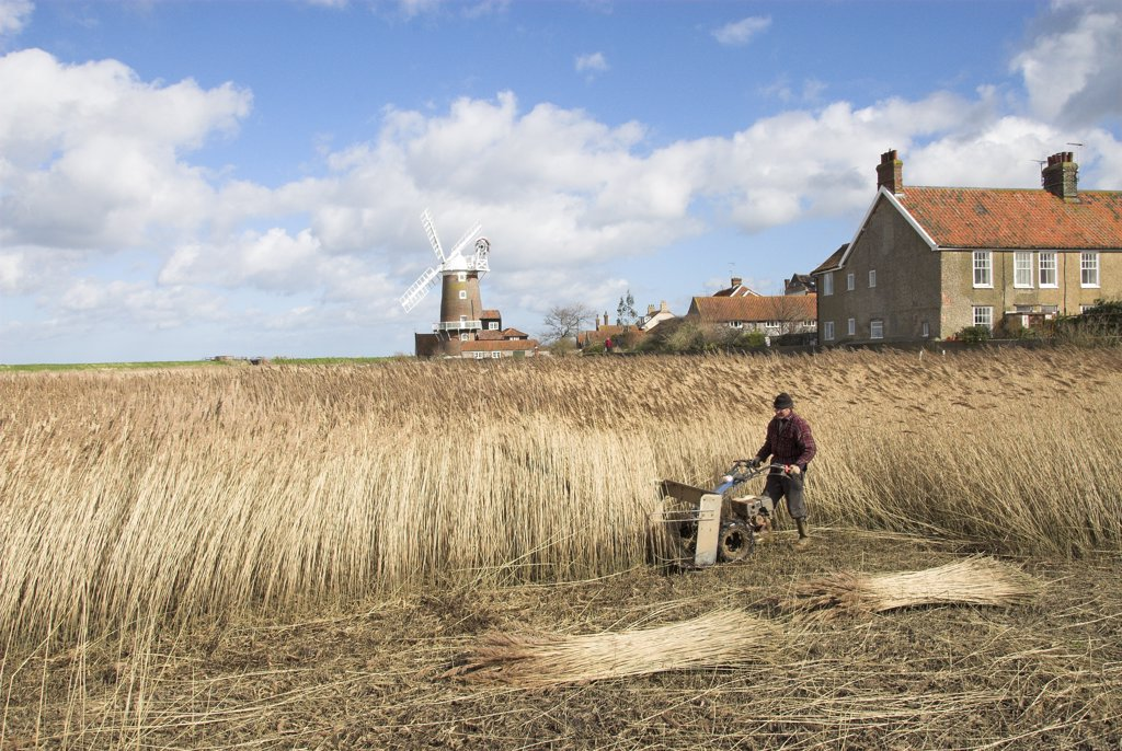 Stock Photo: 4282-7986 England, Norfolk, Cley. A reed cutter using a mechanised cutter to harvest phragmites reed for thatching use.