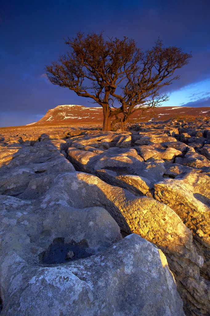 England, North Yorkshire, Ingleton. Tree growing out of the White Scar limestone pavement with Ingleborough, the second highest mountain in the Yorkshire Dales and one of the Yorkshire Three Peaks, in the distance. : Stock Photo