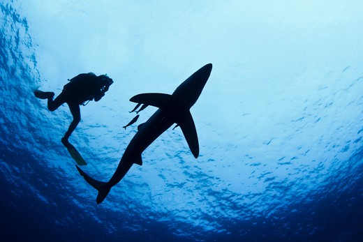 Blue shark (Prionace glauca) and a scuba diver underwater : Stock Photo