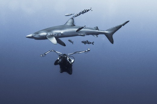 Scuba diver underwater photographing a Blue shark (Prionace glauca) : Stock Photo