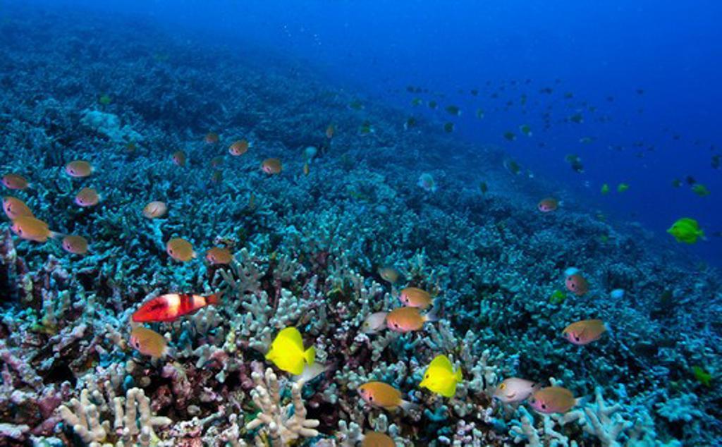 Colorful fish underwater, Kona, Hawaii, USA : Stock Photo