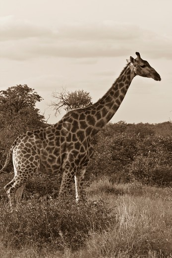 Stock Photo: 4284-1054 Giraffe (Giraffa camelopardalis) in a forest, Timbavati Game Reserve, Limpopo Province, South Africa