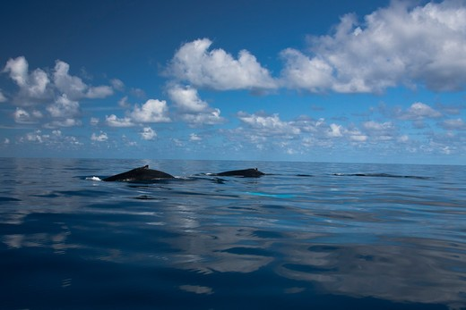 Humpback whale (Megaptera novaeangliae) with its calf in the ocean, Turks and Caicos Islands : Stock Photo