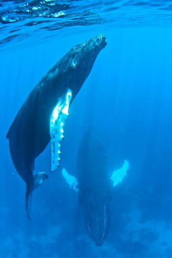 Humpback whale (Megaptera novaeangliae) with calf in the ocean, Silver Bank, Turks and Caicos Islands : Stock Photo