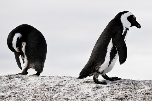 Two African penguins (Spheniscus demersus) in Boulders Beach, Cape Town, South Africa : Stock Photo