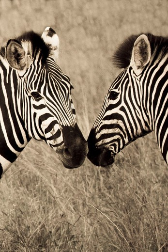 Close-up of two zebras, Timbavati Game Reserve, Limpopo Province, South Africa : Stock Photo