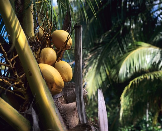 COCONUTS ON TREE GUADELOUPE FRENCH WEST INDIES : Stock Photo