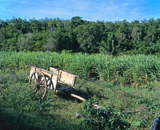 OXCART IN A SUGAR CANE FIELD GUADELOUPE FRENCH WEST INDIES : Stock Photo