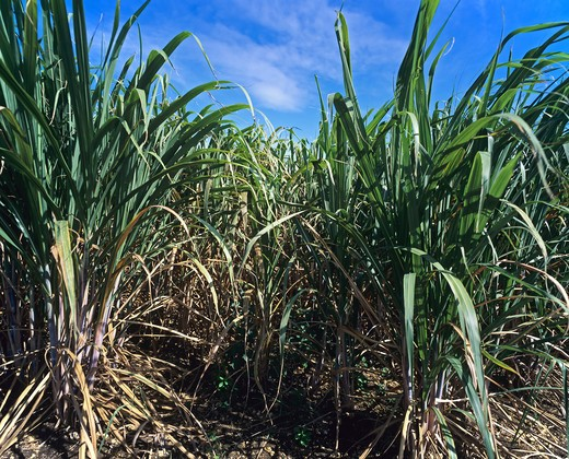 SUGAR CANE FIELD GUADELOUPE FRENCH WEST INDIES : Stock Photo